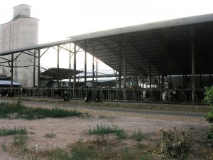 Cowshed with cows