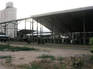 Kühe unter einem großen Dach, im Hintergrund ein Silo