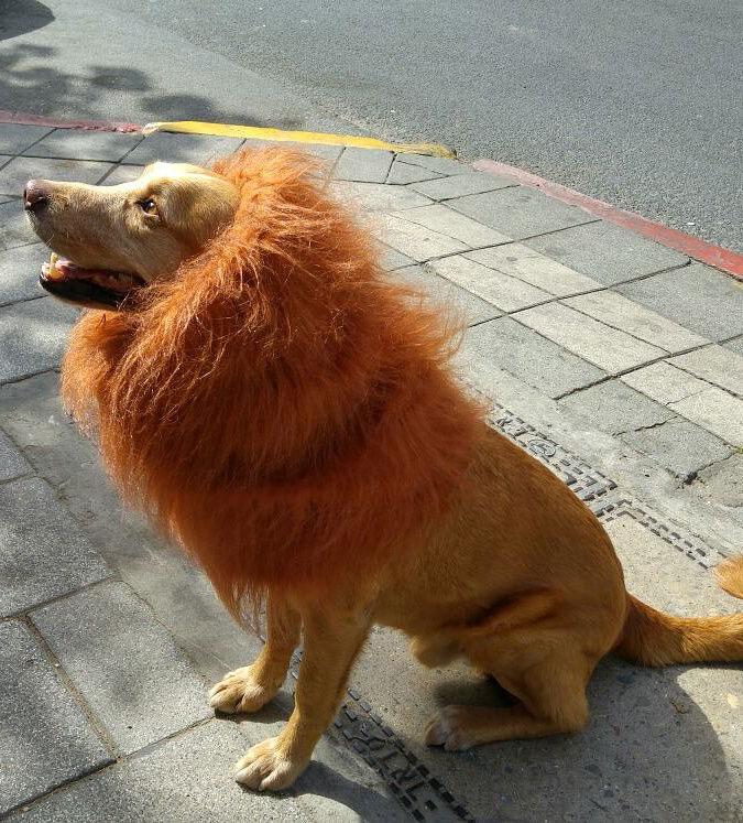 Ein Hund mit einem künstlichen Löwenfell sintz auf dem Gehweg und blickt nach oben.