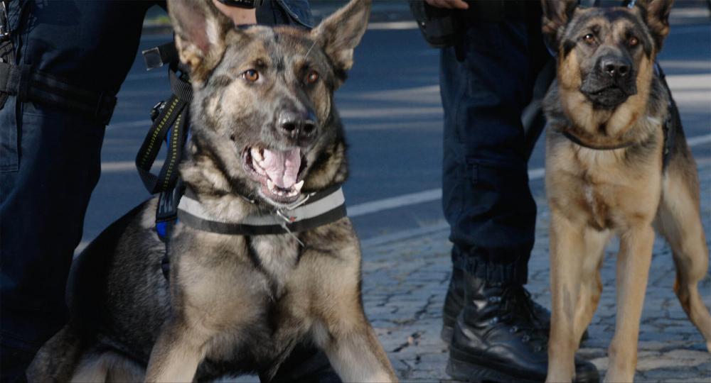 Zwei aggressiv wirkende Schäferhunde, von denen einer die Zähne bleckt. Sie werden von zwei Personen, von denen nur die Beine in Uniformhosen und Springerstiefeln zu sehen sind, eng an der Leine geführt oder zurückgehalten