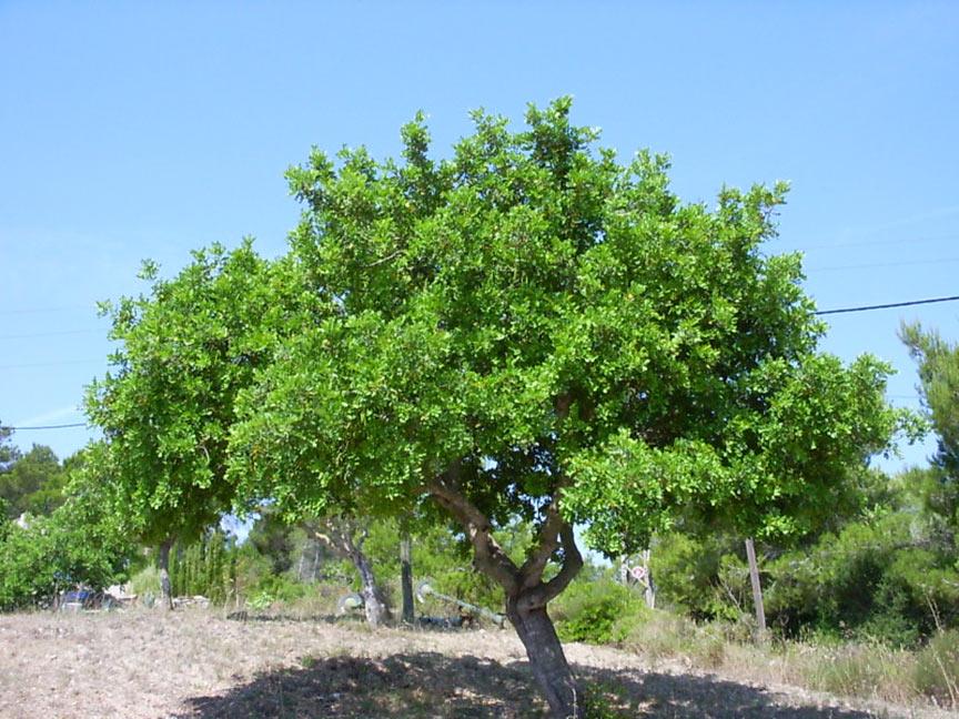 Johannisbrotbaum vor blauem Himmel
