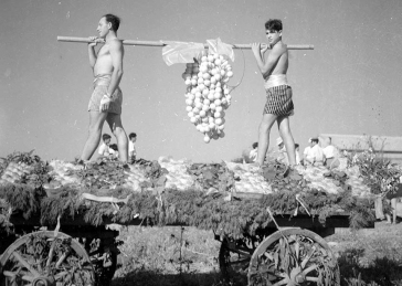 Black and white photo: two young men in shorts standing on a festooned wagon carry a pole from which an oversize cluster of grapes is dangling