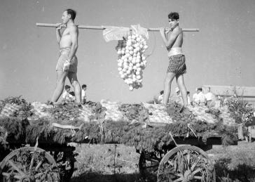 Schwarz-Weiß-Foto: Zwei junge Männer in kurzen Hosen auf einem geschmückten Wagen tragen einen Balken, an dem eine überdimensionierte Weinrebe hängt
