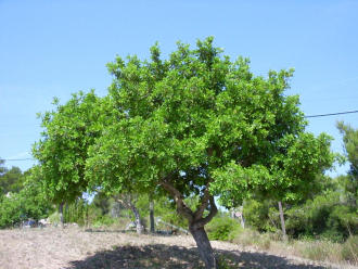 Carob tree in front of blue sky