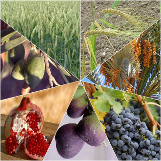 Photo collage of wheat, barley, dates, grapes, figs, pomegranates and olives