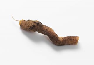 Root or worm like sculpture with a wick a one end